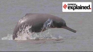 Gangetic Dolphins