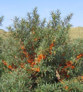 Seabuckthorn plantations