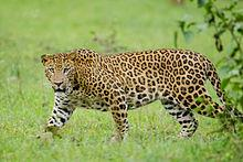 The Indian Leopard