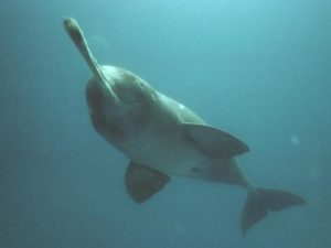 The Gangetic River Dolphin