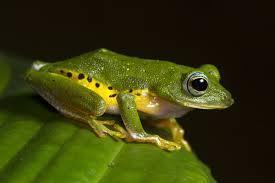 The Myristica swamp tree frog