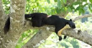 The Malayan Giant Squirrel
