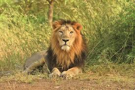 The Asiatic Lion