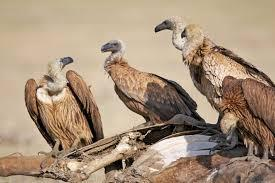 Vultures in India
