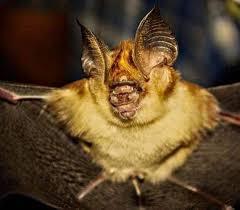 Kolar Leaf Nosed Bat
