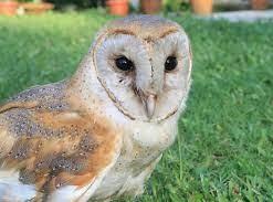 Barn Owls in India
