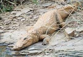 Mugger or Marsh Crocodile