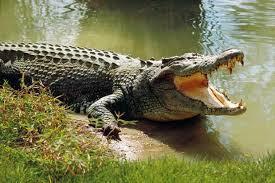 Estuarine or Saltwater Crocodile