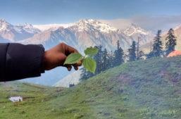 Himalayan Trillium