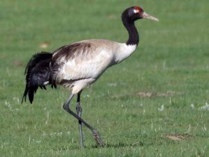 The Black Necked Crane
