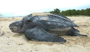 The Giant Leatherback Turtle
