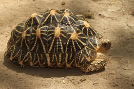 The Indian star tortoises